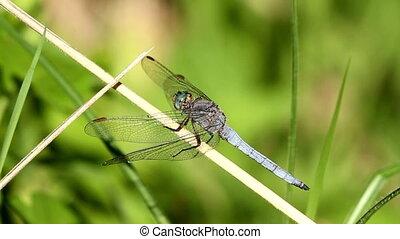 Dragonfly - Beautiful dragonfly resting on a leaf