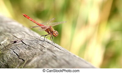 Dragonfly - Beautiful dragonfly resting on a wood
