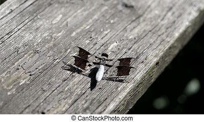 Dragonfly breathing in and out. - Common whitetail dragonfly...