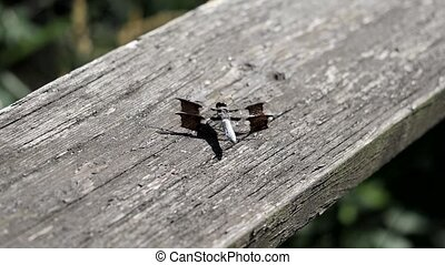 Dragonfly caught breathing in and out then flies away. -...