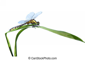 dragonfly close up isolated on white - dragonfly close up...