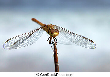 Dragonfly - Close-up photography of beautiful dragonfly on...