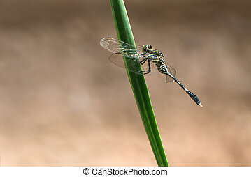 Dragonfly close up - Close up of dragonfly on a long green...