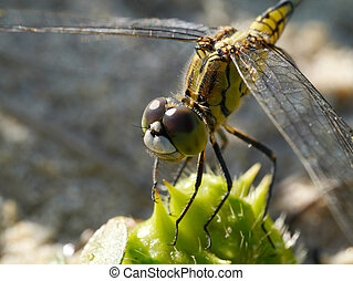 DragonFly close up - Front view portrait of a female Common...