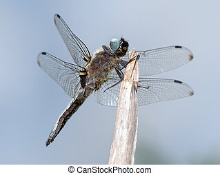 Dragonfly close-up - Close-up of a dragonfly, cling to a...