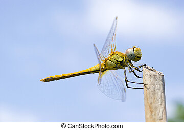Dragonfly close up - Dragonfly macro with sky as background