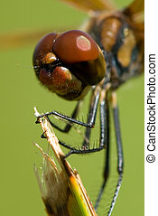 Dragonfly close up - A close up of a beautiful and brown...