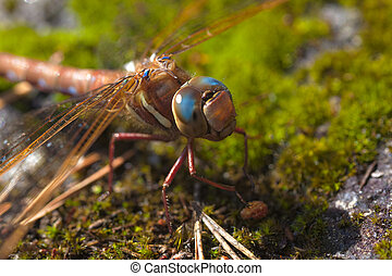 dragonfly close up - colorful dragonfly sitting on moss...