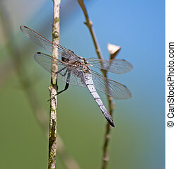 dragonfly close up - macro shot of a gray dragonfly on a...