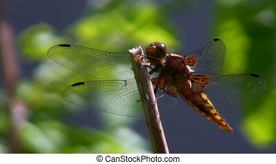 Dragonfly defecate - Dragonfly resting on a swinging stem...