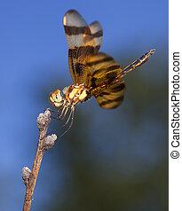 Dragonfly eggs