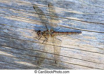Dragonfly Female Common Darter - Female Common Darter...