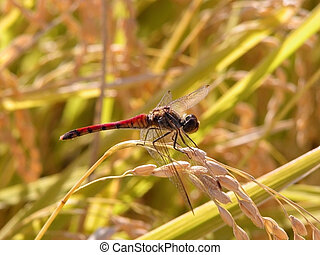 Dragonfly in a rice field