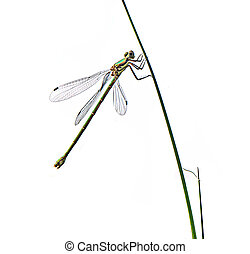 Dragonfly isolated on white background