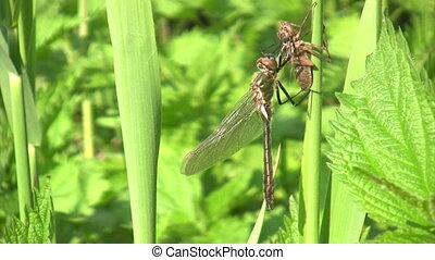Dragonfly metamorphosis - Macroshot of dragonfly hatch from...