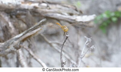 Dragonfly on a Branch. Close-up. Summer day