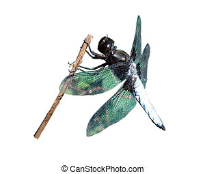 Dragonfly on a branch.