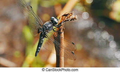 Dragonfly on a Branch on Green Plants Background. Slow Motion