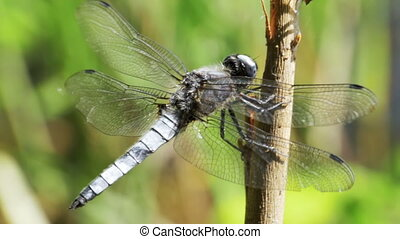 Dragonfly on a Branch on Green Plants Background