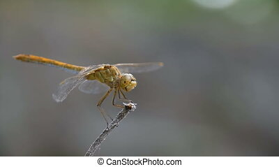 Dragonfly on a Branch. Slow Motion in 96 fps. Summer day -...