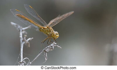 Dragonfly on a Branch. Slow Motion in 96 fps. Summer day
