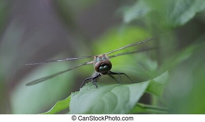 dragonfly on a green leaf flaps its wings, wildlife