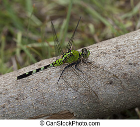 Dragonfly on a log