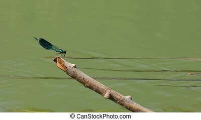 Dragonfly on a twig - Dragonfly by a river on a twig