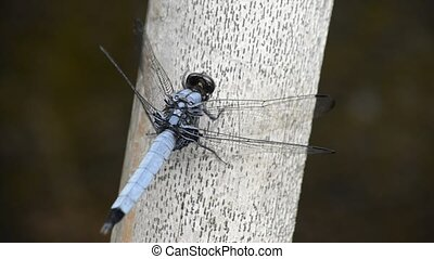 Dragonfly on bamboo - Male orthetrum triangulare melania on...