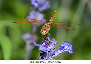 Dragonfly on blue flower
