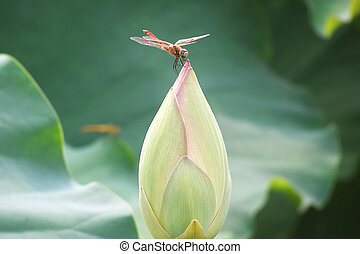 Dragonfly on the bud