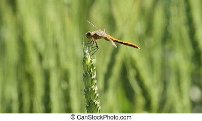 Dragonfly on wheat stalk