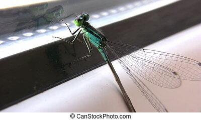 dragonfly on window - Dragonfly on window