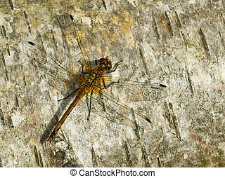 dragonfly on wood