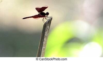 dragonfly perched on a bamboo rod