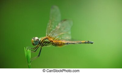 Dragonfly perched on a plant stem moving in the wind, closeup macro static camera. With bokeh green background.