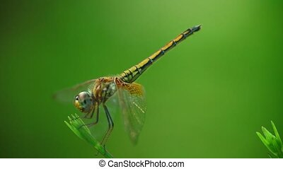 Yellow winged darter dragonfly insect close up isolated outdoors in the wild with bokeh green nature backdrop. Insect macro footage.