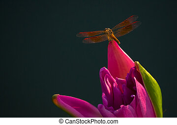 Dragonfly perched on top of pink lotus