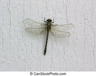 Dragonfly - Photo of a dragonfly, close up