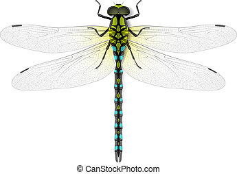 Dragonfly realistic illustration
