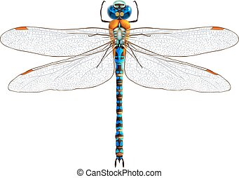Insect realistic dragonfly isolated on white background vector illustration