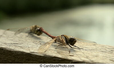Dragonfly Reproduction in the national reserve - Dragonfly...
