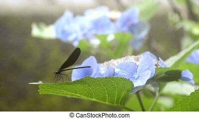 Dragonfly resting - Dragonfly (Atrocalopteryx Atrata)...