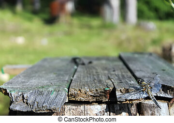 Dragonfly sits on the boards on the background of trees