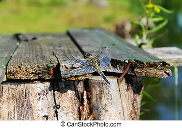 Dragonfly sits on wooden boards on the background of trees