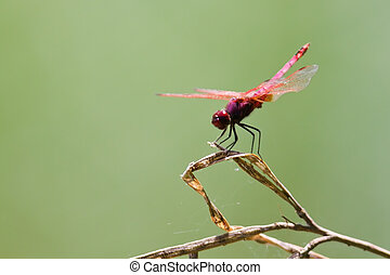 Dragonfly sitting on a reed stem