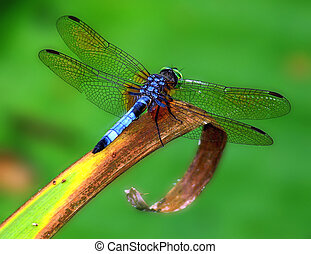 Dragonfly sitting on blade of grass facing away from viewer