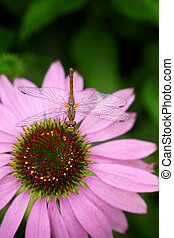 Dragonfly sitting on pink echinacea flower