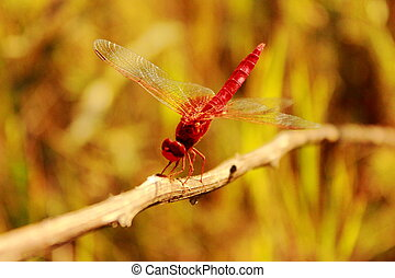 Dragonfly sitting on the grass clos