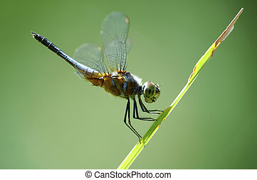 Dragonfly in good pose on a stalk